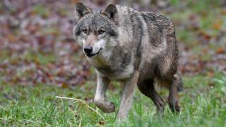 Falsches Wolfs-Video verunsichert Malchin