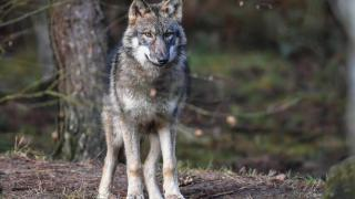 Wolf soll drei Schafe in Nordbrandenburg attackiert haben