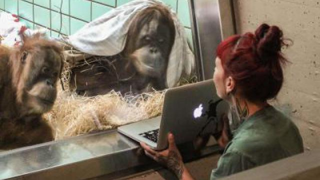 Stuttgarter Zoo will Orang-Utans per Video-Dating verkuppeln